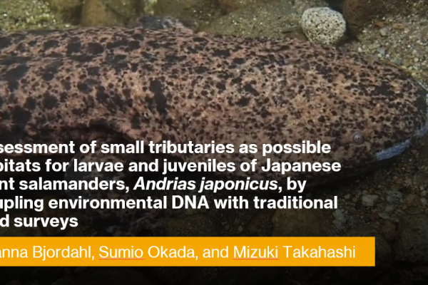 Assessment of small tributaries as possible habitats for larvae and juveniles of Japanese giant salamanders, Andrias japonicus, by coupling environmental DNA with traditional field surveys