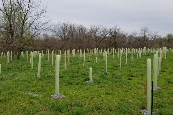 Research on Methods for Forested Buffer Restoration:  Stone Mulch and Tree Tubes